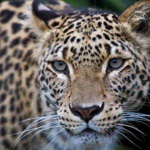 """""""Guilty"""" Leopard Exonerated"""