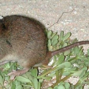 Climate Change May Have Wiped Out Australian Rodent