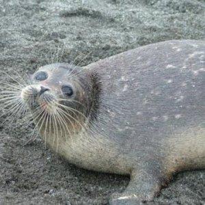 Iran, Russia Prioritize Caspian Seal Conservation