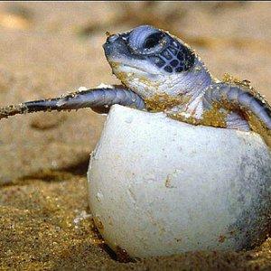 1st Hawksbill Sea Turtle Eggs Hatch on Kish Island