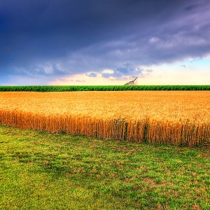 Wheat Production, Gov't Purchases Forge Ahead Full Throttle