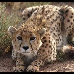 Another Asiatic Cheetah