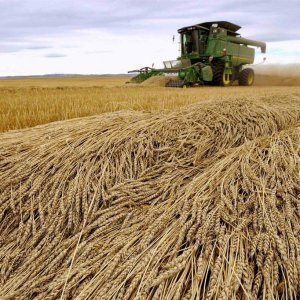 Gov't Buys 11.3m Tons of Wheat