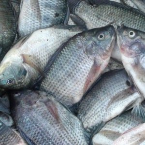 Tilapia Farming to Be Piloted in Yazd Province