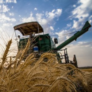 Every year the government buys wheat from local farmers at guaranteed prices to build up its strategic reserves and  control prices in the domestic market.