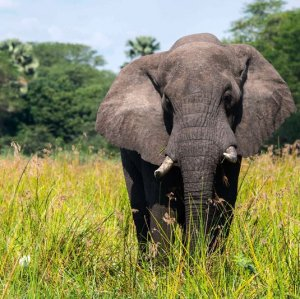 African savanna elephants have declined at a rate of 27,000 elephants per year in less than a decade.