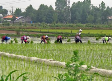 Gilan's Paddy Fields Gobble Up 3.3 bcm of Water Annually