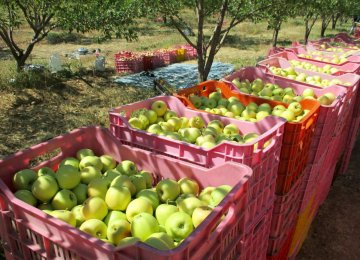 Apple Exports Earn $66m in Three Months
