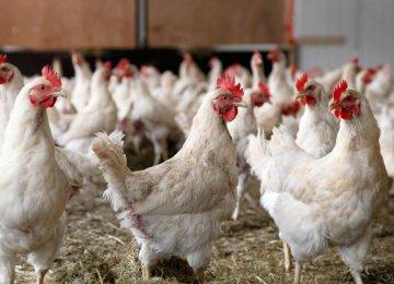 Avian Flu Outbreak Persists