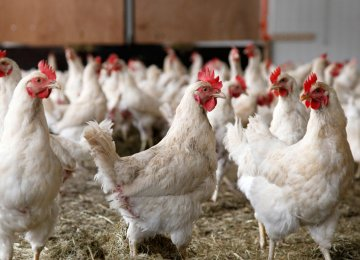 Surplus Chicken Output Expected Next Month