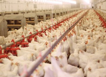 Industrial Chicken Farms' PPI Up 50% in 2018-19