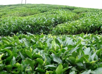 Iran Tea Exports Fetch $18m in 10 Months