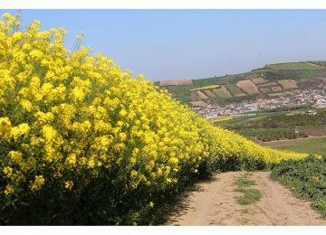 Colza Harvest Season Begins in Mazandaran