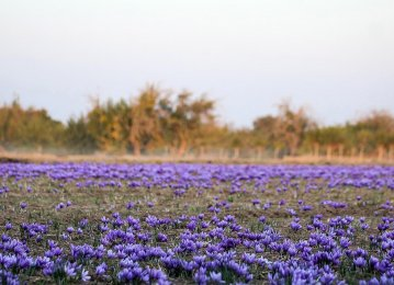 Saffron Farming in Northeast Iran Designated as GIAHS