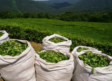 25% Rise in Tea Production