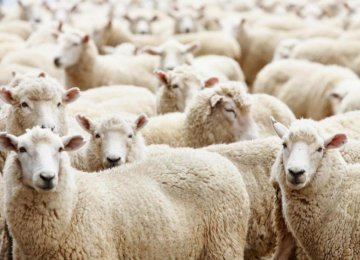 Iran is importing 6,000 head of sheep from Kazakhstan.
