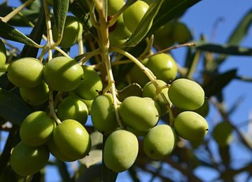 Iran has 84,000 hectares of olive orchards.