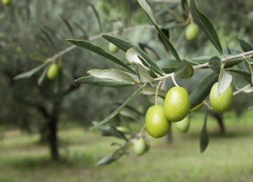 43% Increase in Olive Production