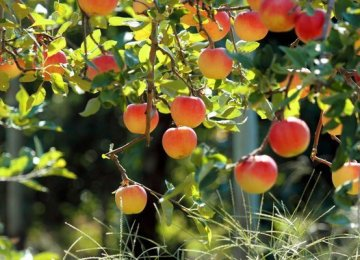 Fruit Production Tops 11m Tons