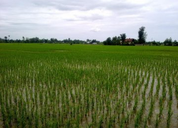 Rice Cultivation to Be Restricted to 2 Northern Provinces