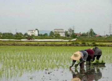 Mazandaran, Gilan Account for 71% of Iranian Rice Production