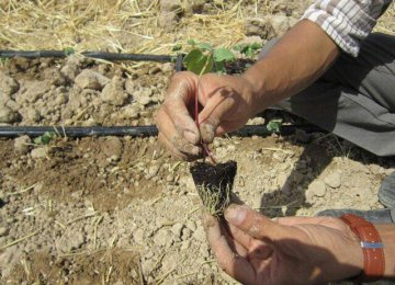 Vegetable Sapling Cultivation Over 214,000 ha