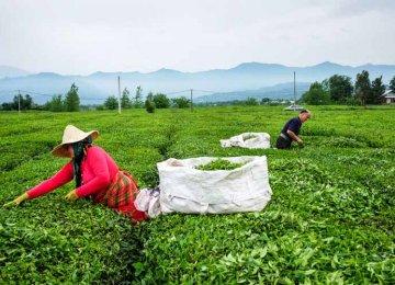 Iran Tea Exports at $12m in H1 (Mar-Sep 2018)