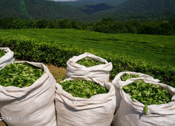 Fresh Tea Leaf Output Estimated to Reach 135K Tons This Year