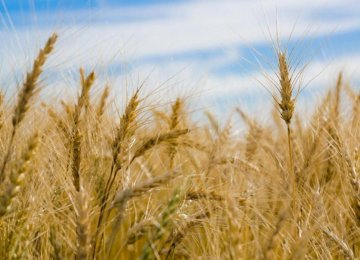 Gov't Wheat Purchases Surpass Last Year's