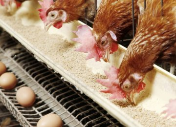 Poultry Producers Beset by Feed Scarcity