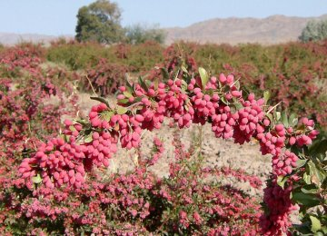 Iran Accounts for 98% of World Barberry Output