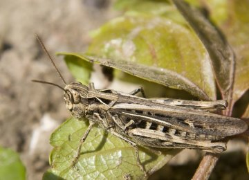 Iran Braces for Another Desert Locust Attack