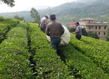 Spring Tea Harvest: Iran Gov't Buys Over 50k Tons of Green Leaves