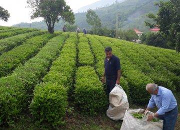 Tea Harvest Season Ends, Gov't Processed Output Rises 11%