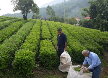 Iran's Tea Production Expected to Rise This Year