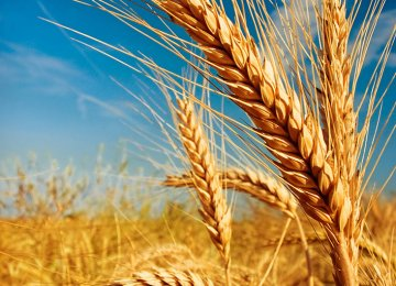 Wheat Self-Sufficiency at Risk: Experts Warn