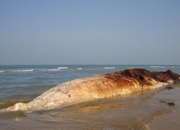 Giant Whale Found Dead