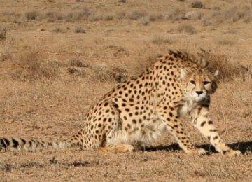 Miandasht Cheetah Refuge Merits Special Attention