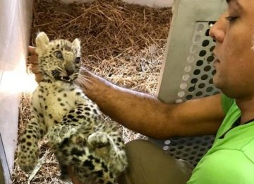Leopard Cub Freed From Smugglers' Clutches