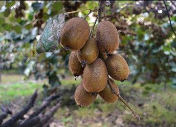 Iran Kiwi Exports From Northern Province Quadruple