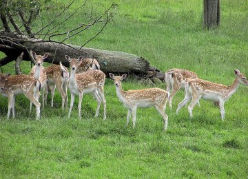 Inevitable inbreeding among the limited number of deer on Ashk Island has decreased genetic variability among the species.