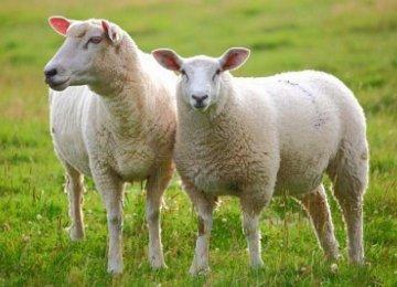 Sheep, Sheepskin Exports