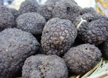 Truffle Harvest
