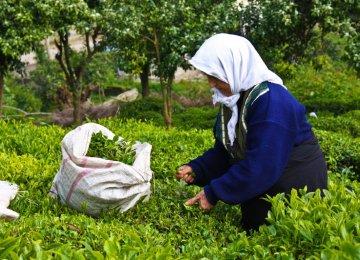 Tea Imports High