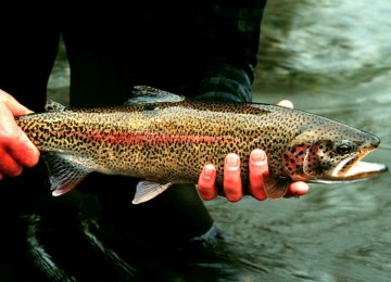 Exporting Trout to Russia