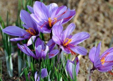 Saffron Exports Up 22.5%