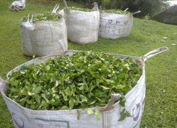 Tea Farmers Report Losses
