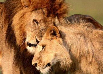 African Lions Face Extinction
