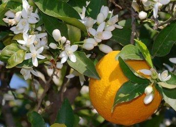 Are Astara's Bitter Orange Trees Depressed?