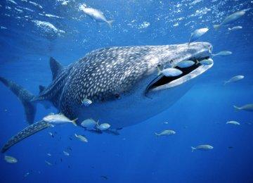 Blue Whale Population Rises